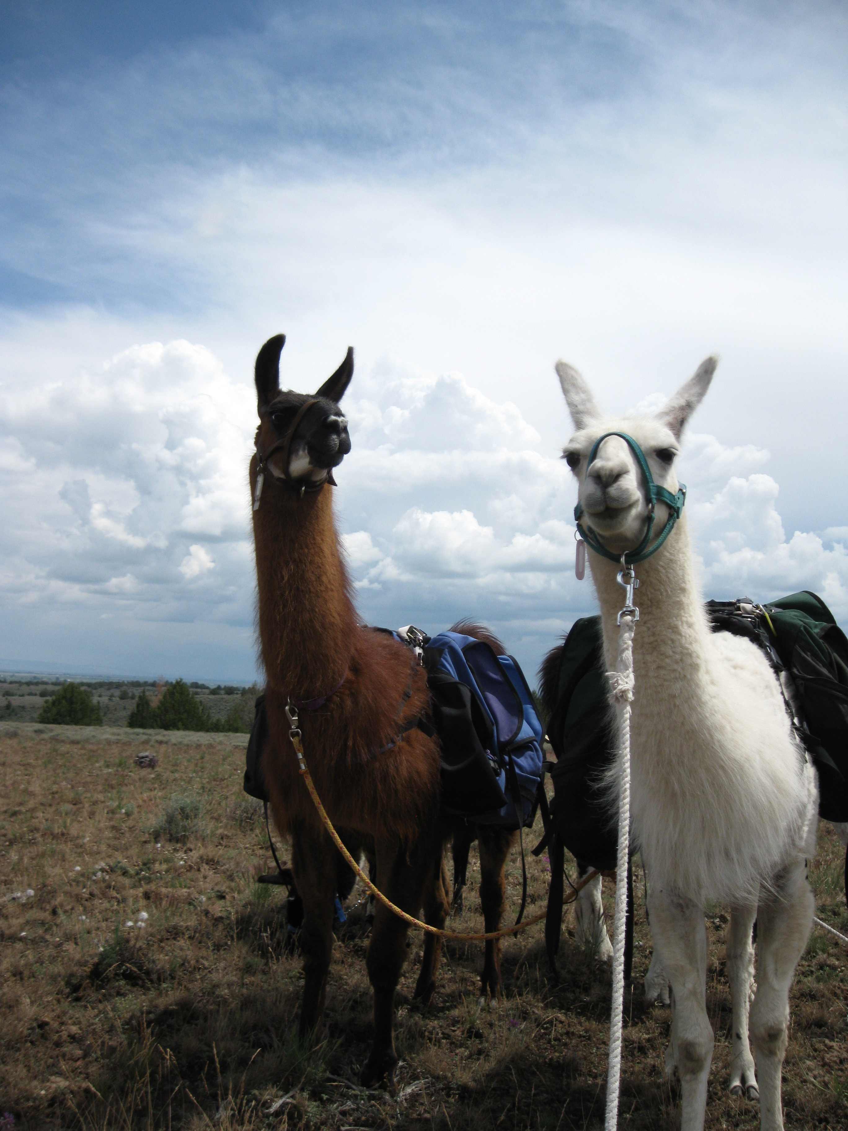 Burns Llama Trailblazers pack llamas UC Wahoo & BLT Snowy Owl at work